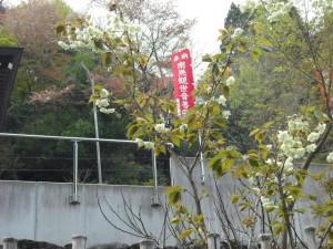 28.4右近の桜